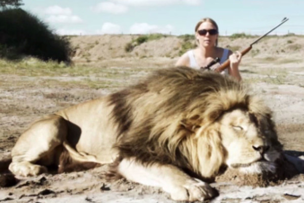 Trophy Hunter Attacked by a Lion