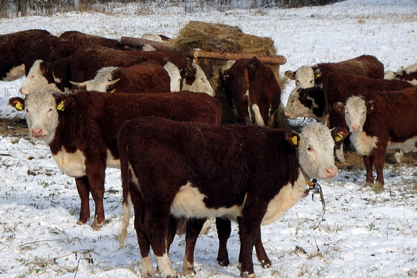 cows frozen to death